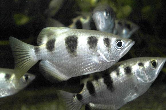 سمكة رامي السهام