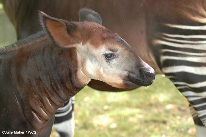 نوع نادر من الزرافات اسمه okapi