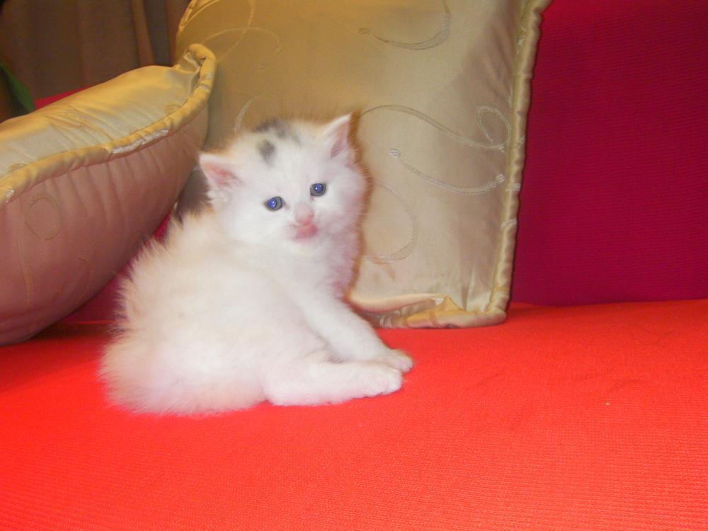 صور اجمل قطط شيرازي