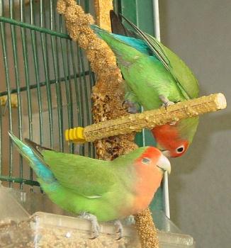 طيور الحب تصدق 377949391.jpg
