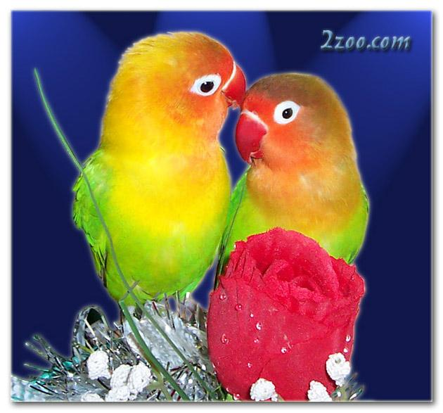 طيور الحب تصدق 585649069.jpg