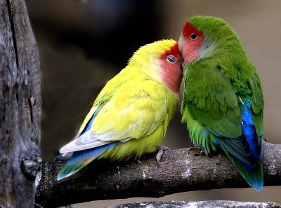 طيور الحب تصدق 673611269.jpg