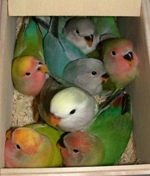 طيور الحب تصدق 911235167.jpg