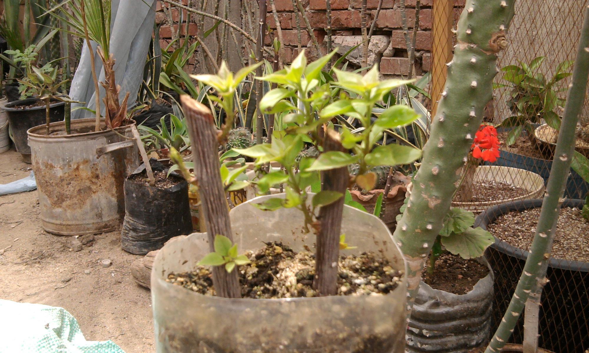 زراعة التوت والجهنمية والفيكس نيتدا 243095460.jpg