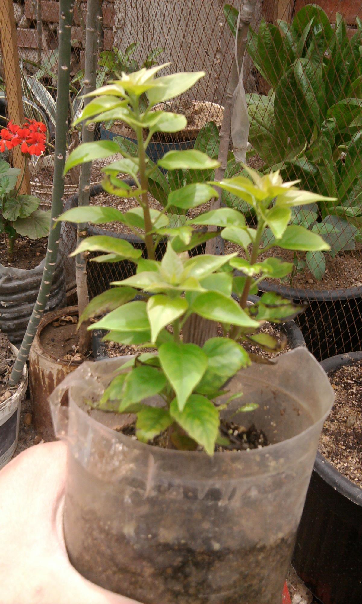 زراعة التوت والجهنمية والفيكس نيتدا 565239780.jpg