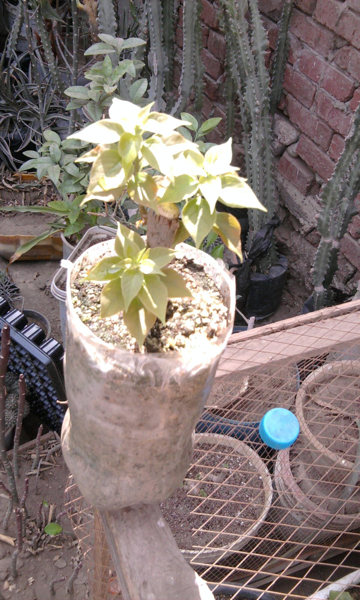 زراعة التوت والجهنمية والفيكس نيتدا 681705235.jpg