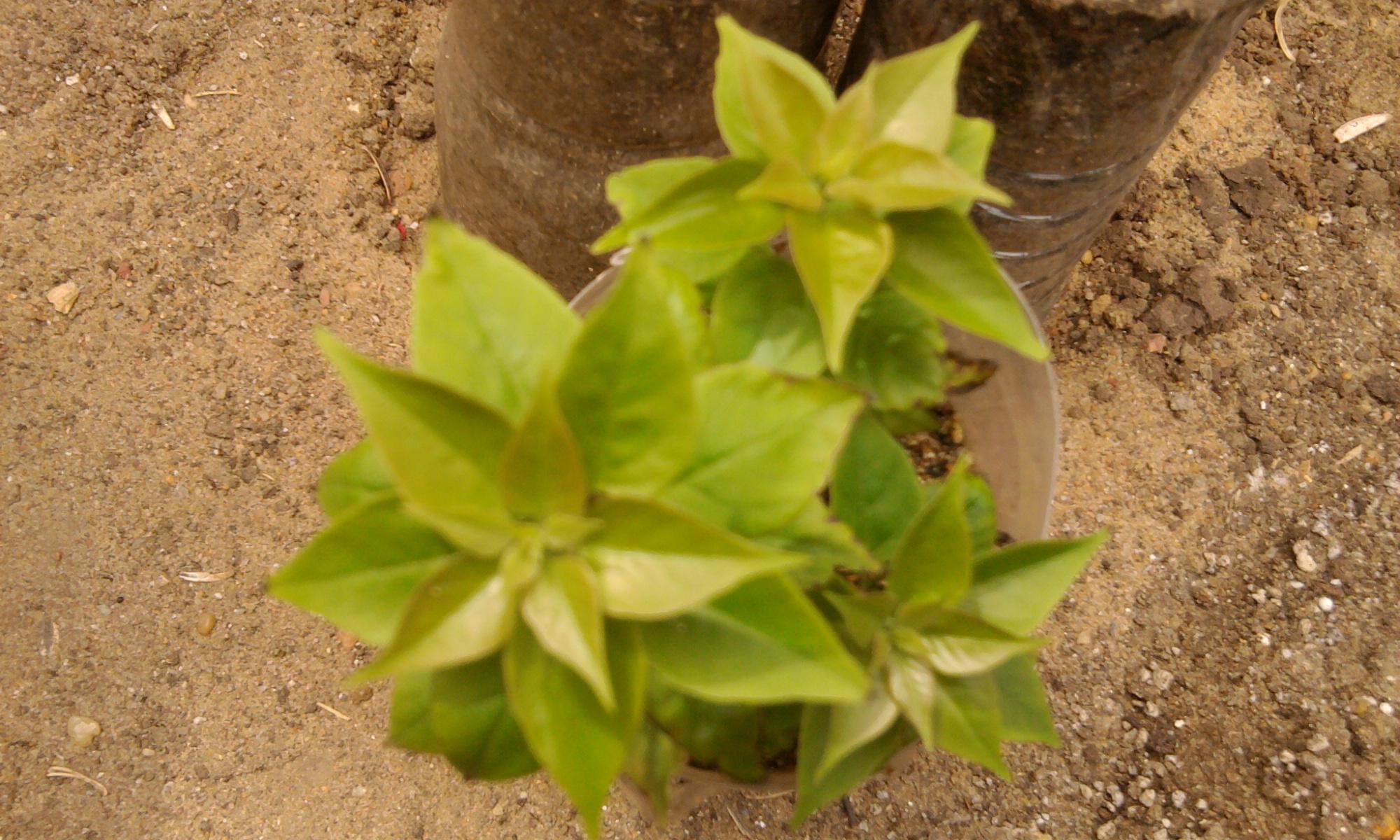 زراعة التوت والجهنمية والفيكس نيتدا 761929611.jpg