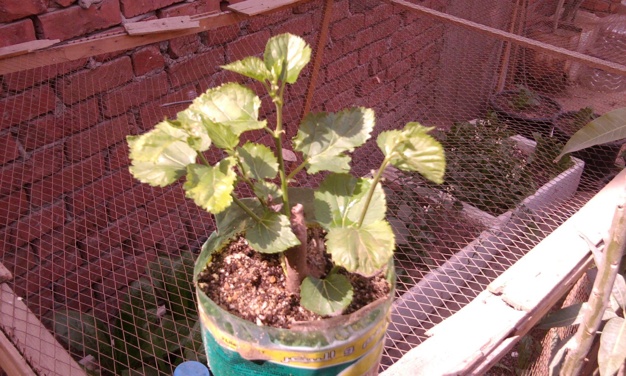 زراعة التوت والجهنمية والفيكس نيتدا 900754759.jpg