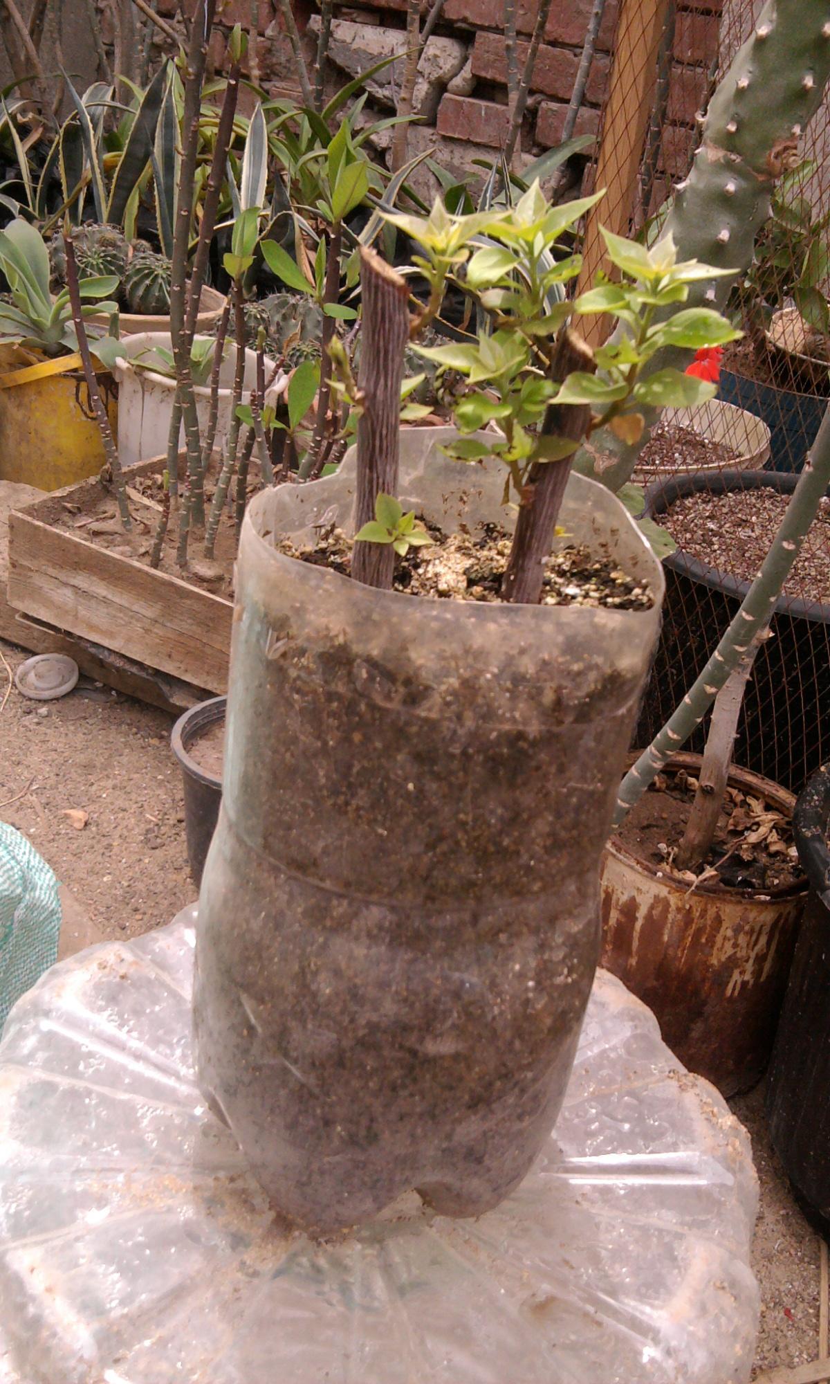 زراعة التوت والجهنمية والفيكس نيتدا 279874318.jpg