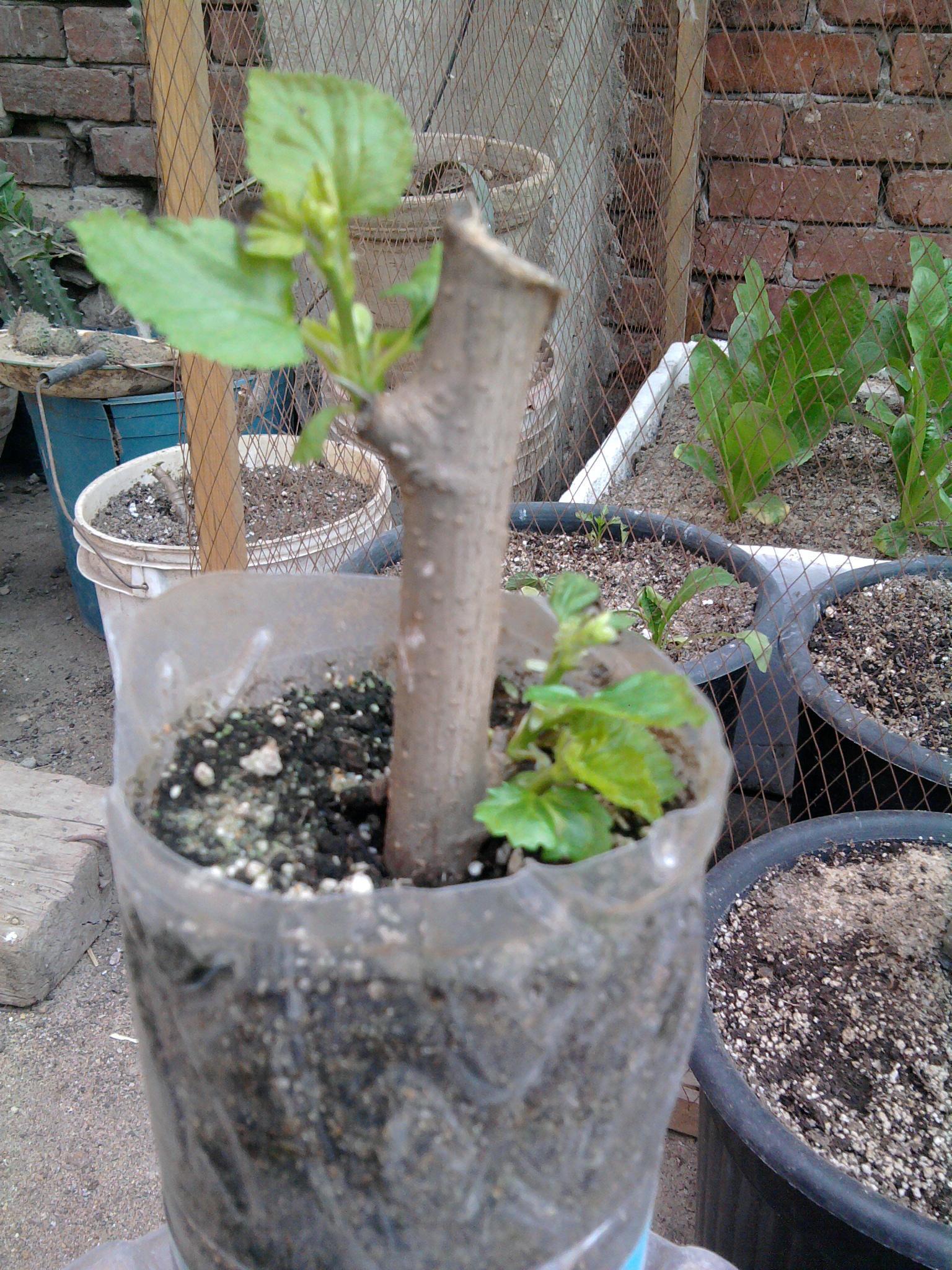 زراعة التوت والجهنمية والفيكس نيتدا 583922584.jpg
