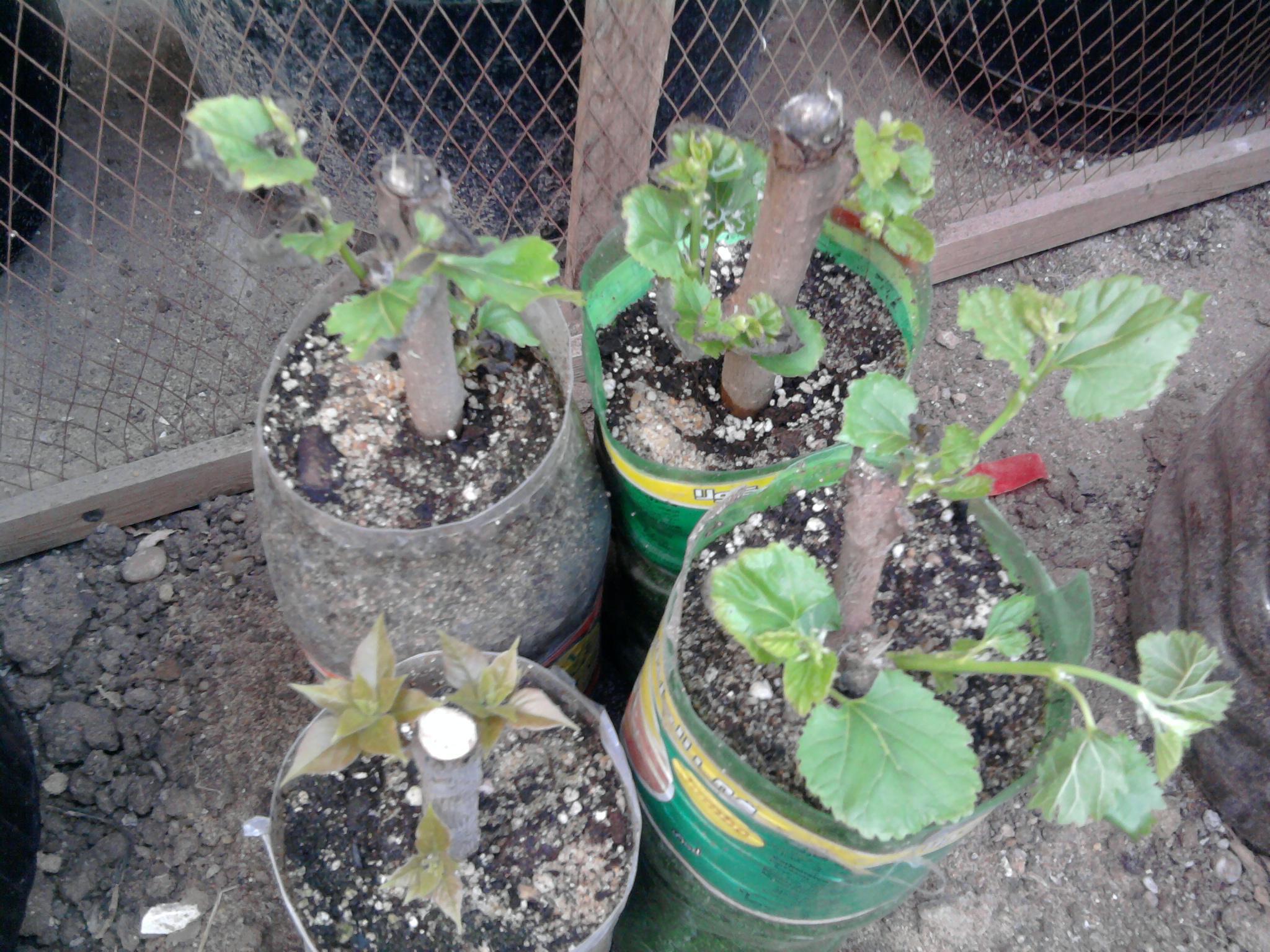 زراعة التوت والجهنمية والفيكس نيتدا 333692512.jpg