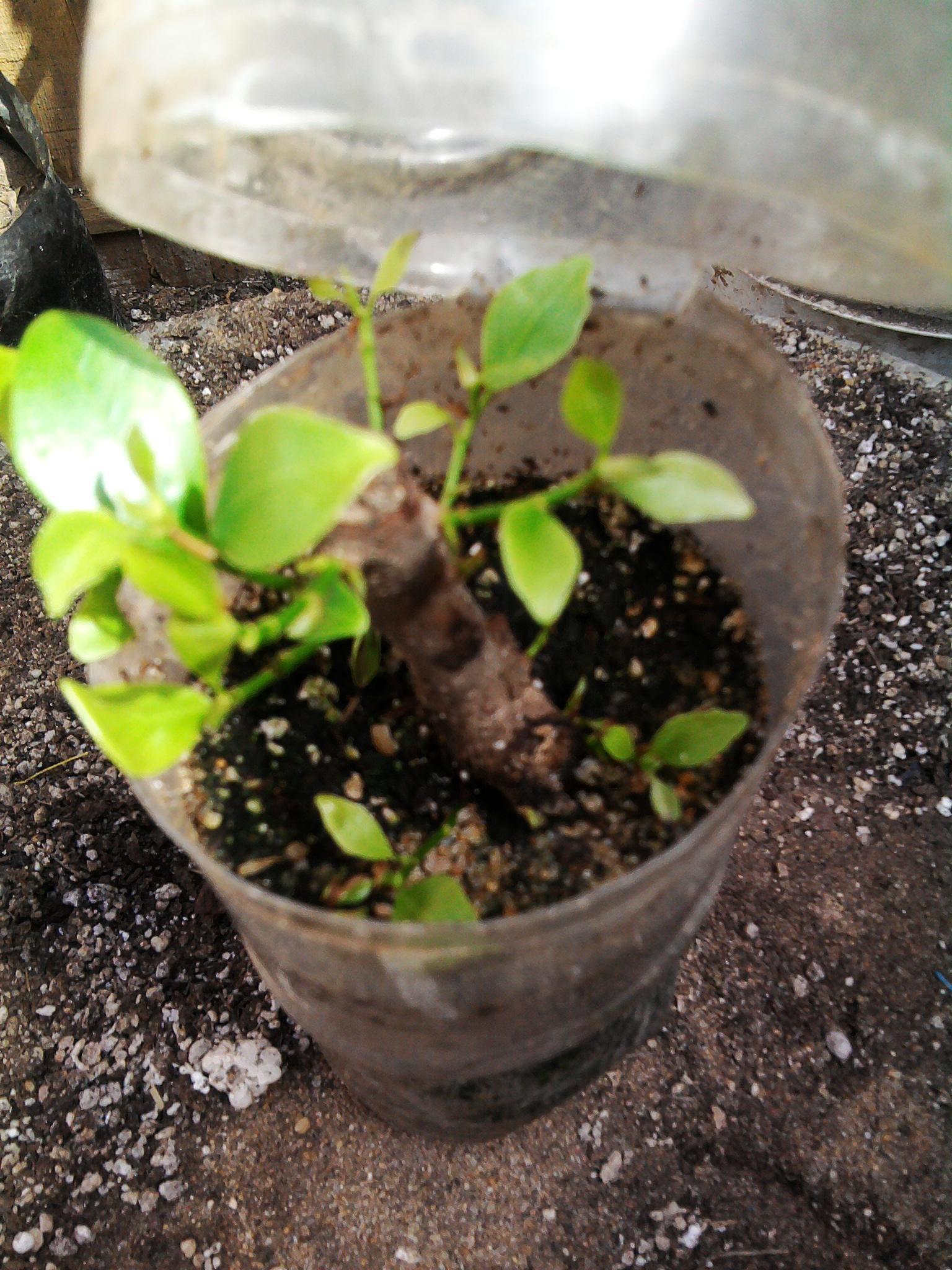 زراعة التوت والجهنمية والفيكس نيتدا 915161679.jpg