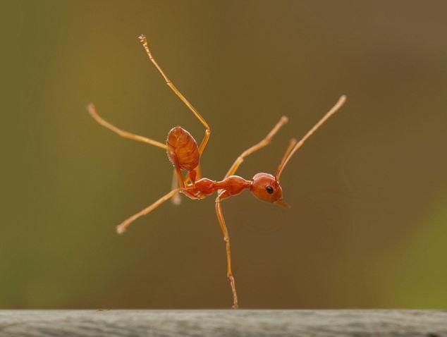 صور النمل بحجم اكبر 236564483