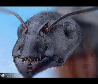 صور النمل بحجم اكبر 309170256