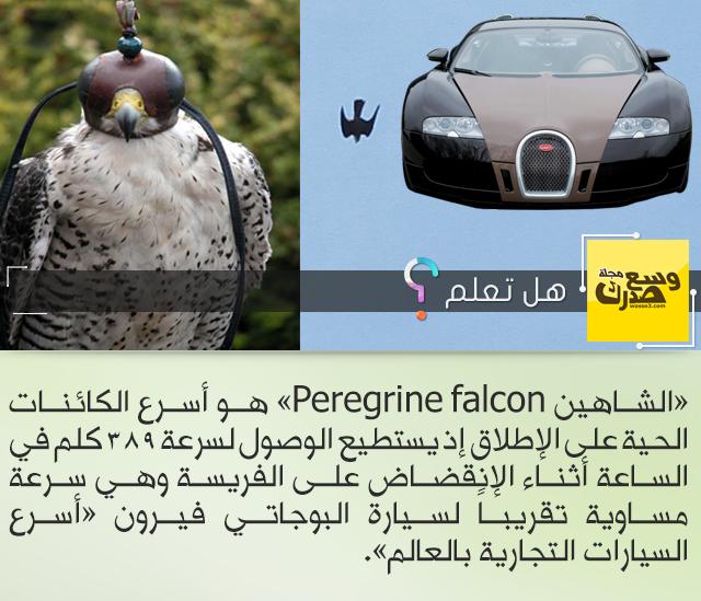 الشاهين Peregrine falcon 223015549.png