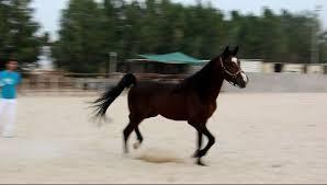 رد: أسماء خيول النبي صلى الله عليه وسلم وهي سبعة في قول الشاعر :